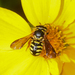 Dianthidium - Photo (c) Royal Tyler, some rights reserved (CC BY-NC-SA)