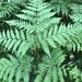 Pteridium pinetorum - Photo (c) Valerii Glazunov, algunos derechos reservados (CC BY)