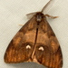 Rusty Tussock Moth - Photo (c) Dick, some rights reserved (CC BY-NC-SA)