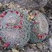 Mammillaria perbella - Photo (c) Opuntia Cadereytensis, some rights reserved (CC BY-NC)