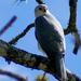 Accipiter novaehollandiae - Photo (c) David Cook, μερικά δικαιώματα διατηρούνται (CC BY-NC)