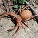 Badge Huntsman Spider - Photo (c) Sam Schmidt, some rights reserved (CC BY)