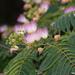 Arboles de la Seda - Photo (c) Tracey Fandre, algunos derechos reservados (CC BY-NC-ND)