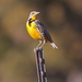 Eastern and Western Meadowlarks - Photo (c) Steve Berardi, some rights reserved (CC BY-NC-SA)