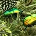 Protaetia cuprea ignicollis - Photo (c) Naya Hassan, algunos derechos reservados (CC BY-NC-ND)