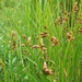 Seacoast Bulrush - Photo (c) Sarah Towne, some rights reserved (CC BY-NC)