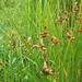 Bolboschoenus robustus - Photo (c) Sarah Towne, μερικά δικαιώματα διατηρούνται (CC BY-NC)
