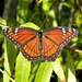 Florida Viceroy - Photo (c) Bob Peterson, some rights reserved (CC BY-NC-SA)