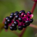American Pokeweed - Photo (c) Joan Costanza, some rights reserved (CC BY-NC)