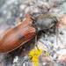 Anostirus bipunctatus - Photo (c) Thomas Barbin, algunos derechos reservados (CC BY-NC)