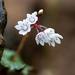 Crassula capensis - Photo (c) magriet b, algunos derechos reservados (CC BY-SA)