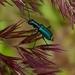Clanoptilus elegans - Photo (c) ldhes, μερικά δικαιώματα διατηρούνται (CC BY-NC)