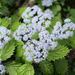 Hydrangea Family - Photo (c) Toshihiro Nagata, some rights reserved (CC BY-NC)