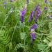 Tufted Vetch - Photo (c) albi78, some rights reserved (CC BY-NC)