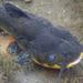 Bagre Torito Negro - Photo (c) Christian Schwarz, algunos derechos reservados (CC BY-NC)