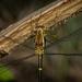 Episynlestes albicaudus - Photo (c) Nicholas John Fisher, algunos derechos reservados (CC BY)