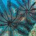 Colobometra perspinosa - Photo (c) Anne Hoggett,  זכויות יוצרים חלקיות (CC BY-NC)