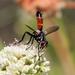 Cylindromyia intermedia - Photo (c) Andrea Kreuzhage, algunos derechos reservados (CC BY-NC)