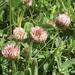 Trifolium fragiferum - Photo (c) Zinogre, algunos derechos reservados (CC BY-SA)
