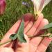 Calystegia purpurata purpurata - Photo (c) Sarah Minnick, algunos derechos reservados (CC BY-NC)