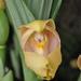 Orquídeas Tulipán - Photo (c) Stefano, algunos derechos reservados (CC BY-NC-SA)