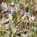 Eriastrum sapphirinum sapphirinum - Photo (c) Fred Melgert / Carla Hoegen, algunos derechos reservados (CC BY-NC)