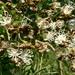 Julbernardia paniculata - Photo (c) Günter Baumann, alguns direitos reservados (CC BY-NC-SA)
