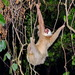 Hoffmann's Two-toed Sloth - Photo (c) cholzapfel, some rights reserved (CC BY-NC)