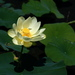 American Lotus - Photo (c) liz west, some rights reserved (CC BY)