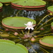 Giant Waterlily - Photo (c) Steven Lek, some rights reserved (CC BY-SA)