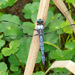 Libellula vibrans - Photo (c) Larry Meade, algunos derechos reservados (CC BY-NC-SA)