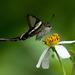Lamproptera curius - Photo (c) Aidan Mak, algunos derechos reservados (CC BY-ND)