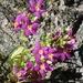 Zeltnera abramsii - Photo (c) Don Rideout, algunos derechos reservados (CC BY-NC)