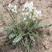 Oxytropis sericea - Photo (c) ashegan,  זכויות יוצרים חלקיות (CC BY-NC)