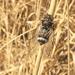 Cicadatra alhageos - Photo (c) Uriah Resheff, algunos derechos reservados (CC BY-NC)