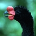 Guans, Chachalacas, and Curassows - Photo (c) Jim Kuhn, some rights reserved (CC BY)