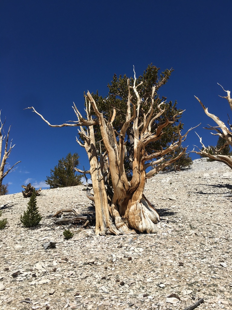 Great Basin Bristlecone Pine - Photo (c) wilsonl, some rights reserved (CC BY-NC)