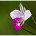 Orquídea Bambú - Photo (c) Jose Amorin, algunos derechos reservados (CC BY-NC-SA)