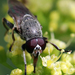 Myolepta aurinota - Photo (c) catherine_g, algunos derechos reservados (CC BY-NC)