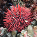 Red Sea Urchin - Photo (c) Donna Pomeroy, some rights reserved (CC BY-NC)