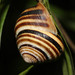 Vineyard Snail - Photo (c) mgreilhuber, some rights reserved (CC BY-NC)