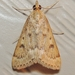 Garden Webworm Moth - Photo (c) Royal Tyler, some rights reserved (CC BY-NC-SA)