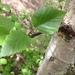 Betula papyrifera - Photo Sem direitos reservados