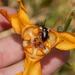 Cypella fucata - Photo (c) Joselin Listur., algunos derechos reservados (CC BY)