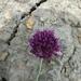 Allium fuscoviolaceum - Photo (c) mallaliev, algunos derechos reservados (CC BY-NC)