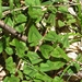 Persicaria runcinata - Photo (c) Lijin Huang (紫楝), μερικά δικαιώματα διατηρούνται (CC BY-NC)