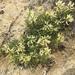 Astragalus pectinatus - Photo (c) ashegan, osa oikeuksista pidätetään (CC BY-NC)