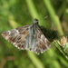 Tufted Skipper - Photo (c) Oleg Kosterin, some rights reserved (CC BY)