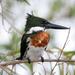 Martín Pescador Amazónico - Photo (c) Lip Kee Yap, algunos derechos reservados (CC BY-SA)