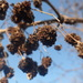 Aceria fraxiniflora - Photo (c) Eric Knopf, alguns direitos reservados (CC BY-NC)